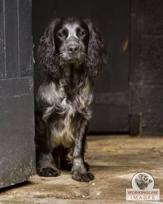Working Cocker Spaniel. (Workingline images)