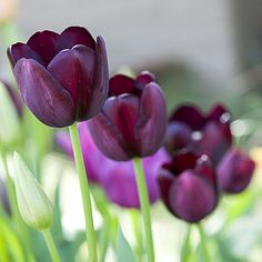 Almost-black tulips