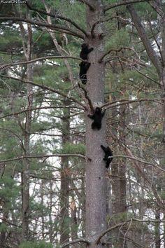 bears.jpeg