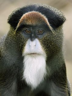 The Roloway Monkey is a form of Old Wold money and can be found in Ghana, between the Sassandra and Pra rivers in Africa. Sadly, the Roloway Monkey is also one of the most endangered animals in the whole of Africa.