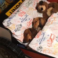 Ahhhhh bedtime. ❤️ cute pic @sidandrodneysausage #dachshund…