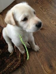 is an adoptable Labrador Retriever Dog in Oshawa, ON. This pup along with his siblings came to us from an Indian reserve from the Great White North, they are 5 weeks old now and will be availab. The Great White, Labrador Retriever Dog, Siblings, Puppies, Indian, Dogs, Cubs, Pet Dogs, Doggies
