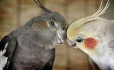 http://www.petcarevision.com/Parrot/cockatiels.php    http://www.petcarevision.com/Parrot/order.php