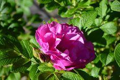 Vielä ruusua  Charles Albanel