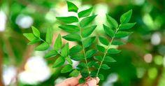 Las hojas de curry, llamadas también hojas de Neem, aparte de usarse en la cocina para aromatizar y saborizar platos, tienen muchos beneficios para la salud