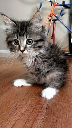 Pancake the Kitten proves cats don't need four legs to have an amazing life!