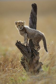 we are best Reliable and suppliers of cheetah cub's worldwide. Our shipping and delivery is safe and convenient. We are ready to sell and supplies the cheetah cub's World Wide Call/text or WhatsApp us via Nature Animals, Animals And Pets, Wild Animals, Beautiful Cats, Animals Beautiful, Big Cats, Cats And Kittens, Cheetah Cubs, Baby Leopard