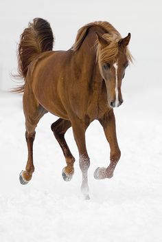 There is nothing so beautiful as an Arabian horse in full flash mode - Arab horse - www. Most Beautiful Animals, Beautiful Horses, Beautiful Creatures, Animals And Pets, Cute Animals, All About Horses, Majestic Horse, All The Pretty Horses, Mundo Animal