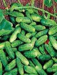 How To Grow Gherkins - Read my step by step guide to Growing Gherkins