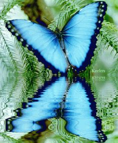 Blue butterfly reflection