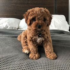 The Cavapoo is a crossbreed that results from breeding a Poodle and a Cavalier King Charles Spaniel. Cavapoos were initially created to be hypoallergenic dogs and thus the ideal companion for… Super Cute Puppies, Cute Little Puppies, Cute Little Animals, Cute Dogs And Puppies, Baby Dogs, Adorable Dogs, Cutest Dogs, Doggies, Small Puppies