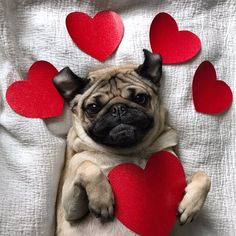 Doug the Pug Small Puppies, Pug Puppies, Pet Dogs, Doug The Pug, Funny Pug Pictures, Puppy Pictures, Silly Dogs, Funny Dogs, Raza Pug