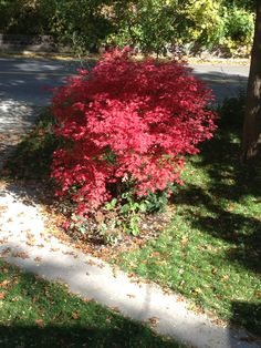 Japanese red maple tree in our garden!