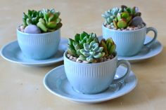 Teacups & Saucers Collection | The Republic of #Succulents