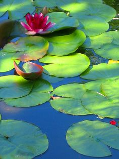 Lilies by scoodler, via Flickr