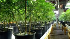 Inside the Pesticide-Free Marijuana Certification Program    http://www.westword.com/news/inside-the-pesticide-free-marijuana-certification-program-7573400… #MME #cannabis #cbd #CO #thc