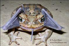 """Um sapo-boi ou sapo cururu, """"Rhinella marina"""",  abocanhou um morcego no Parque Nacional Amotape, na Amazônia peruana.   Fotografia: Phillip Torres/Divulgação."""