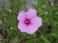 Beach Flower - Grayton Beach, FL