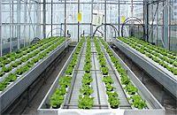 hydroponiczna uprawa sałaty (NFT) szklarnie doswiadczalne SGGW