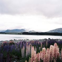 Lake Tekapo   Flickr - Photo Sharing! -- Lupines are some of my favorites!