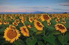 Sunflower field east of Loveland, Colorado --  Photo Joshua Hardin, Viewfinder Media