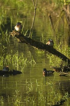 Sunning ducks spend time on the river....