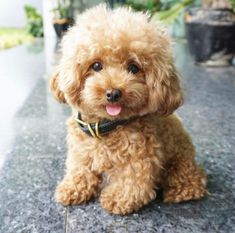 I'm not Sure if this is a Purebred Poodle or a Maltipoo? - I'm not Sure if this is a Purebred Poodle or a Maltipoo? Cute Dogs And Puppies, I Love Dogs, Doggies, Toy Poodle Puppies, Toy Poodles, Morkie Puppies, Toy Cockapoo, Teddy Bear Puppies, Maltese Poodle