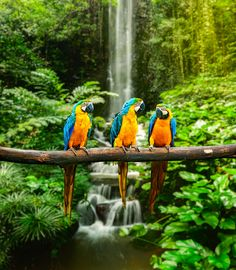 The Birds Of A Feather Wall Mural features three colorful blue and yellow macaws sitting together on a branch in a rainforest. A beautiful waterfall cascades behind them through lush green foliage. Animal Photography, Nature Photography, Imagen Natural, Murals Your Way, Beautiful Waterfalls, Animal Wallpaper, Beautiful Birds, Pet Birds, Animals And Pets