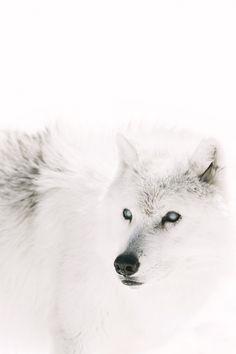 white wolf | Tumblr