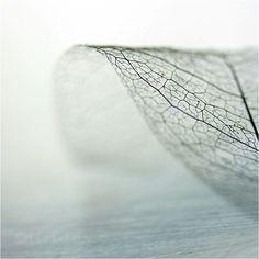 Feuille transparente, nervures et cellules voronoi. Macro NB