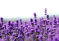 Lavender is a plant native to the mountainous terrain around the Mediterranean, where the sun is abundant and the habitat is composed mostly of stones. Nowadays, it grows throughout Europe, Australia and the United States.