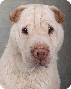 Chicago, IL - Shar Pei. Meet Mr. Ming, a dog for adoption. http://www.adoptapet.com/pet/17655557-chicago-illinois-shar-pei