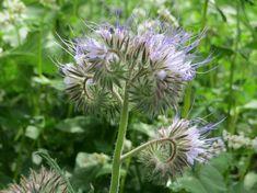 Álljunk meg egy cseppet: így néz ki a cseppecskevirág! Sweet Potato Slips, Blue Tansy, Beneficial Insects, Sun Shade, Flower Seeds, Compost, Dandelion, Herbs, Organic
