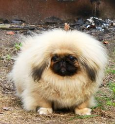 Puppy Photos - Moshka Pekingese