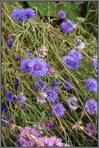 Irish Wildflowers - Cornflower - May - October
