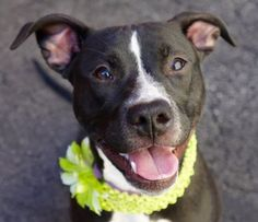 Manhattan Center ZOEY – A1070072  FEMALE, BLACK / WHITE, AM PIT BULL TER MIX, 7 mos OWNER SUR – ONHOLDHERE, HOLD FOR ID Reason MOVE2PRIVA Intake condition UNSPECIFIE Intake Date 04/12/2016, From NY 10468, DueOut Date 04/19/2016,