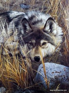 """Carl Brenders' print ONE TO ONE is a striking image of a lone wolf at rest but still on the alert. Carl Brenders says: """"I have had many different ideas in my head about painting that wonderful, myster Like & Repin thx. Follow Noelito Flow instagram http://www.instagram.com/noelitoflow"""