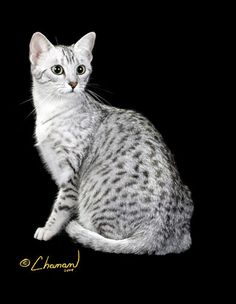 MY FAVORITE COLOR EGYPTIAN MAU . SILVER ...