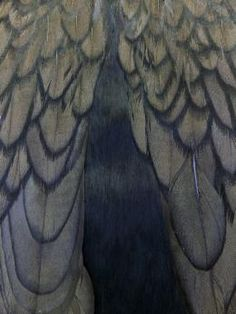 Researchers discover how feathers get their shine,  shiny black feathers have a single thin keratin layer, but only loosely organized melanosomes, putting them somewhere in between matte and iridescent.
