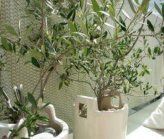 oliv tree