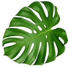 Resultado de imagem para philodendron leaf png