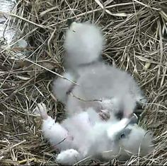 2016 DC eaglets, proud parents are Mr President + The First Lady.  Here, the younger eaglet takes a tumble as the two birds sit in the nest, watched over by a parent.