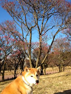 Seeing Japanese Ume Blossoms