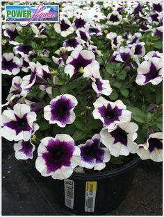 Garden Container Amazing 8 with Petunia Potunia Purple Halo