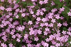 saponaria ocymoides--soapwort at front of stone wall--will spread in a good way! Bright Green, Go Green, Little Plants, Garden Borders, Planting Seeds, Green Leaves, Pretty Little, Garden Plants, Perennials