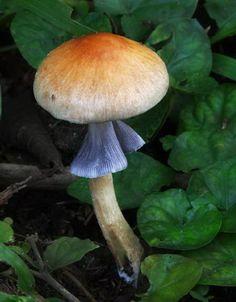 Gold cap (Psilocybe cubensis formerly also Stropharia cubensis) growing in horse manure. Ecuador.