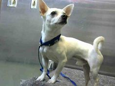 DEVORE,CA. EUTH LIST. 12/04/17. Potsie ID#A686059. 4 yr. old male Chihuahua/Jack Russell Terrier mix. Rescue only. Behavior (tried to bite does not seem to like men). Arrived 11/27/17.
