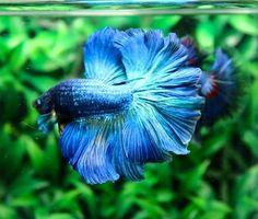 Halfmoon Betta Auctions - Thu May 14 2020 Beta Fish Names, Betta Fish Types, Fish Varieties, Pet Fish, Halfmoon Betta, Colorful Animals, Blue Roses, Aquariums, Fish Tank