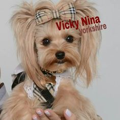 VickyNina yorkshire cute petmodel