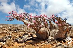 15 Incredible Places Nature Lovers Must See Weird Plants, Unusual Plants, Exotic Plants, Socotra, Cacti And Succulents, Planting Succulents, Baobab Tree, Bottle Trees, Desert Plants